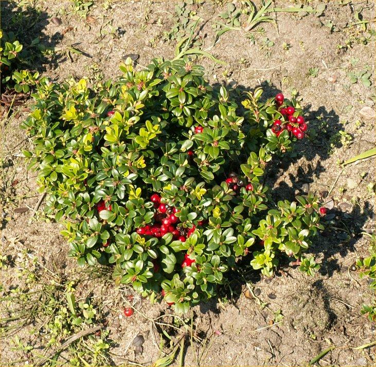 Super Die Heidelbeere - Plantage, Pflücken @DQ_61