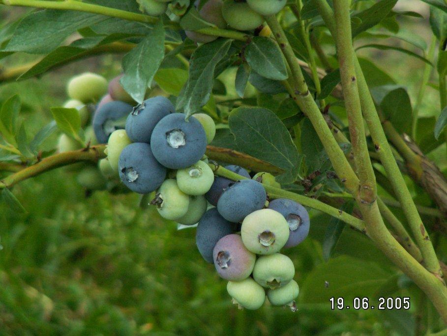Fabelhaft Die Heidelbeere - Plantage, Pflücken @TA_75